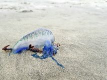 Medusas azules del buque de guerra portugués trenzadas en la playa foto de archivo libre de regalías