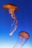 Medusas com fundo azul do inclinação Imagens de Stock