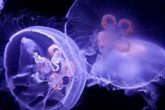 Medusas de la luna Imagen de archivo libre de regalías