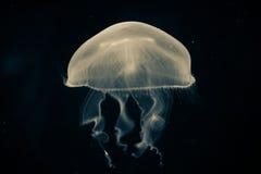 Medusas de la luna Imágenes de archivo libres de regalías