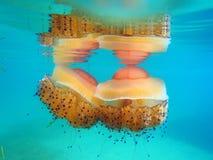 Medusas de la medusa Fotografía de archivo libre de regalías