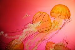Medusas de la ortiga del mar Imagen de archivo