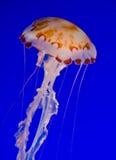 Medusas de la ortiga del mar Imagenes de archivo