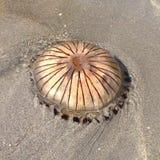 Medusas del compás lavadas encima de Seaton Beach Cornwall fotos de archivo libres de regalías