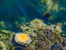 Medusas del huevo frito Foto de archivo libre de regalías