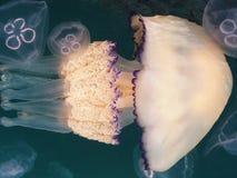 Medusas en el mar Fotografía de archivo