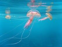 Medusas en el mar Mediterráneo Fotos de archivo libres de regalías