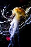Medusas en fondo oscuro Fotografía de archivo libre de regalías