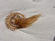 Medusas en la arena de Mallorca imagenes de archivo