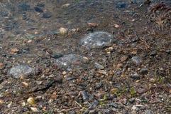 Medusas en la costa Imagenes de archivo