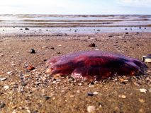 Medusas en la costa Imagen de archivo