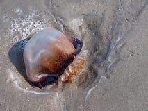 Medusas en la playa Imagenes de archivo