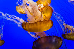 Medusas en un acuario Fotos de archivo libres de regalías