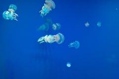 Medusas en un fondo azul Fotografía de archivo
