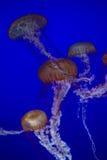 Medusas espectaculares Foto de archivo libre de regalías