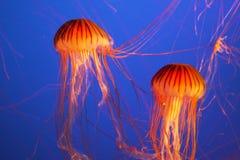 Medusas exóticas brillantes magníficas Imagenes de archivo