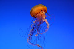 Medusas hermosas Fotos de archivo