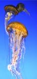 Medusas hermosas imagen de archivo libre de regalías