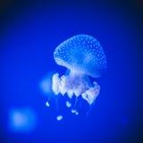 Medusas hermosas Fotografía de archivo libre de regalías