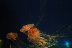 Medusas hermosas Imagen de archivo