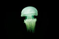 Medusas iluminadas Imagen de archivo libre de regalías