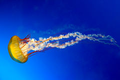 Medusas japonesas de la ortiga del mar Foto de archivo libre de regalías