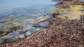 Medusas muertas lanzadas en la orilla arenosa almacen de video