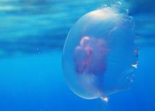 Medusas no Mar Vermelho Fotos de Stock