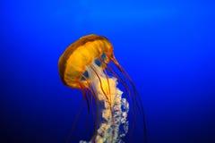 Medusas Osaka Imagem de Stock