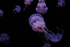 Medusas púrpuras Foto de archivo libre de regalías