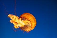 Medusas que brillan intensamente Fotos de archivo