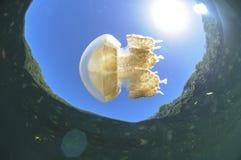 Medusas que nadan libremente en el agua clara del lago jellyfish de Palau imagen de archivo libre de regalías