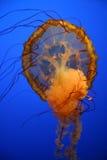 Medusas - quinquecirrha del Chrysaora Imágenes de archivo libres de regalías