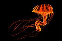 Medusas rayadas amarillas rojas Fotografía de archivo