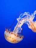 Medusas rayadas púrpuras Fotos de archivo