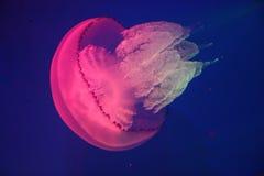 Medusas rojas Fotografía de archivo