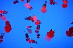 Medusas rojas Foto de archivo