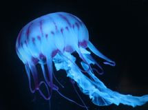 Medusas rosadas azules en el fondo oscuro, animal hermoso fotos de archivo