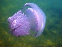 Medusas y pequeños pescados imágenes de archivo libres de regalías
