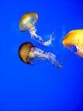 meduse Immagini Stock
