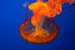 Meduse Fotografie Stock