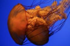 meduse Fotografia Stock