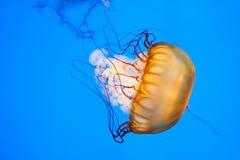 Meduse in acqua blu luminosa Fotografie Stock