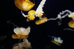 Meduse in acquario Fotografia Stock Libera da Diritti