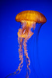 Meduse arancio luminose in un oceano blu profondo immagine stock libera da diritti