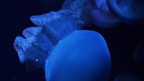 Meduse blu in acquario che si muove attraverso l'acqua alla luce al neon