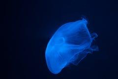 Meduse blu II Immagine Stock