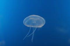 Meduse bluastre Fotografie Stock