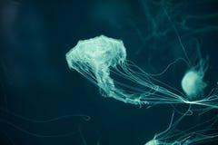 Meduse con effetto della luce al neon di incandescenza fotografia stock