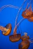Meduse con fondo blu Immagine Stock Libera da Diritti